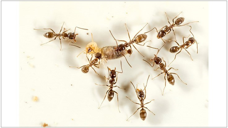 Death by Termite: Purdue Entomologist Uses Natural Cravings to Control Invasive Ants