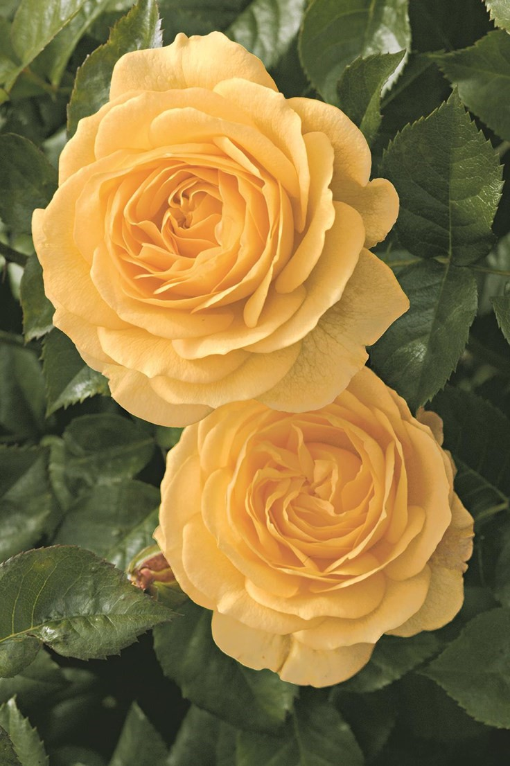 Love Garden Roses: Garden Center Magazine