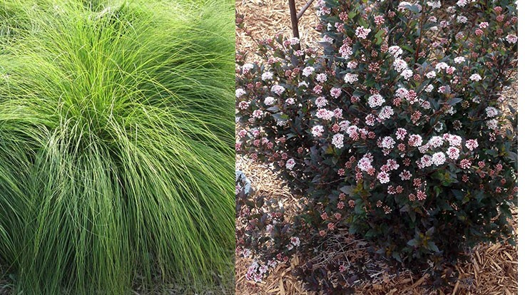 Prairie dropseed, Little Devil ninebark receive plant of the year nods