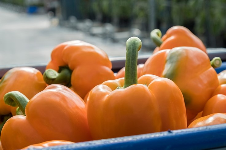 NatureFresh Farms now offering organic sweet bell and mini sweet peppers