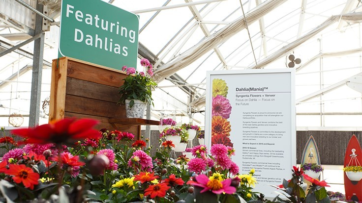 Syngenta Flowers to acquire dahlia assortment from Verwer Dahlia BV