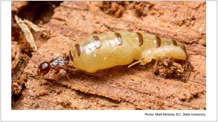 Researchers Prove Royalty Among Termites
