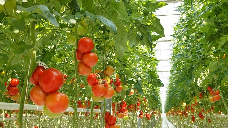 Canadian greenhouse vegetable production space, production costs on the rise