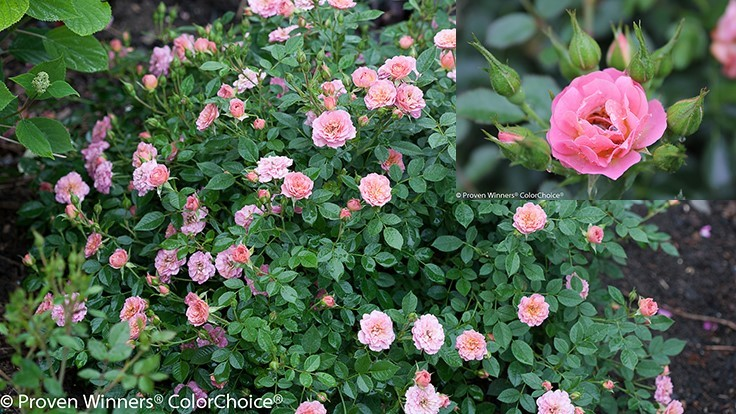 Proven Winners Oso Easy Petit Pink Rosa designated 2019 A.R.T.S. Master Rose