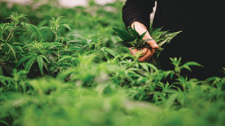 How to Grow Cannabis Sustainably