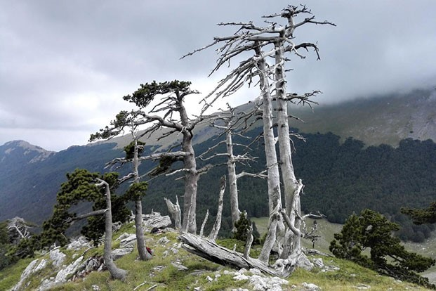 Oldest known tree in Europe is having a growth spurt