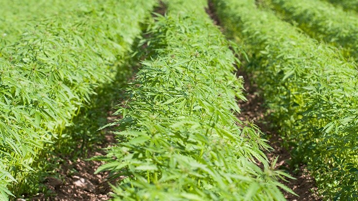 U.S. Senate Unanimously Approves Hemp Measure