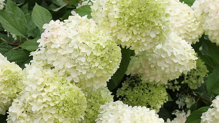 /limelight-hydrangea-named-louisiana-super-plant.aspx