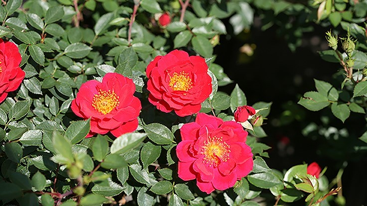 Oso Easy Urban Legend Rosa receives 2019 American Rose Society Award of Excellence