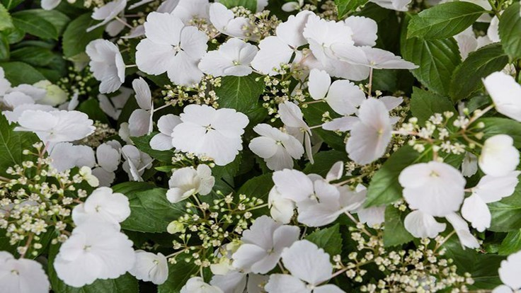 Hydrangea 'Snow White' wins Chelsea's Plant of the Year