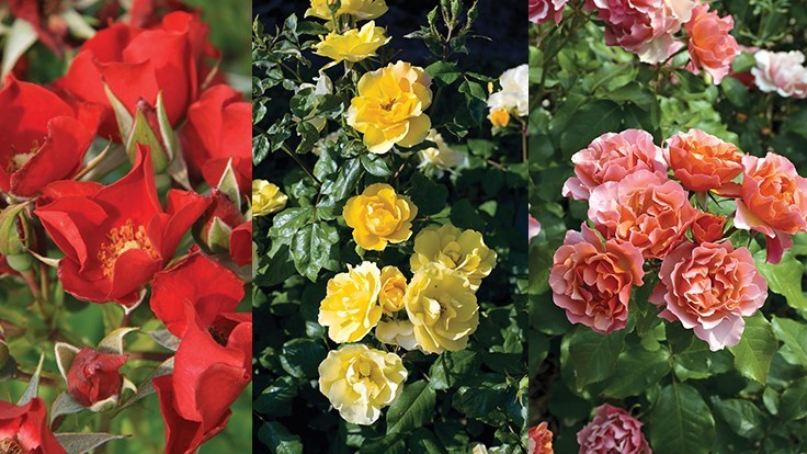 Star Roses and Plants wins three awards from the AGRS testing program