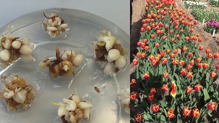 Dümmen Orange and IribovSBW make a breakthrough in tulip bulb propagation