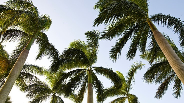 Uf Ifas Experts Explore Multiple Strategies To Control New Palm Disease