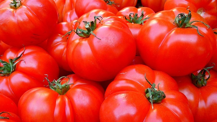 UF Releases Updated Tomato Guidelines