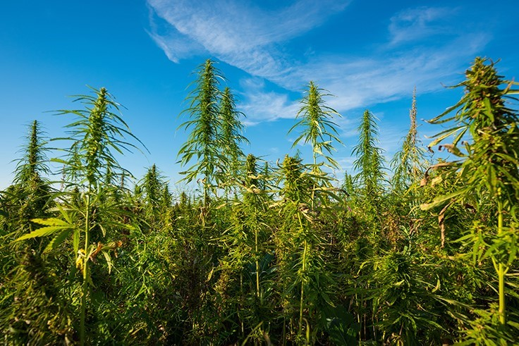 /california-cannabis-advocate-joins-farming-cooperative.aspx