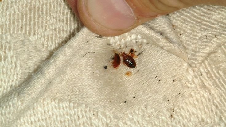 Female Bed Bugs Control Their Immune Systems Ahead Of