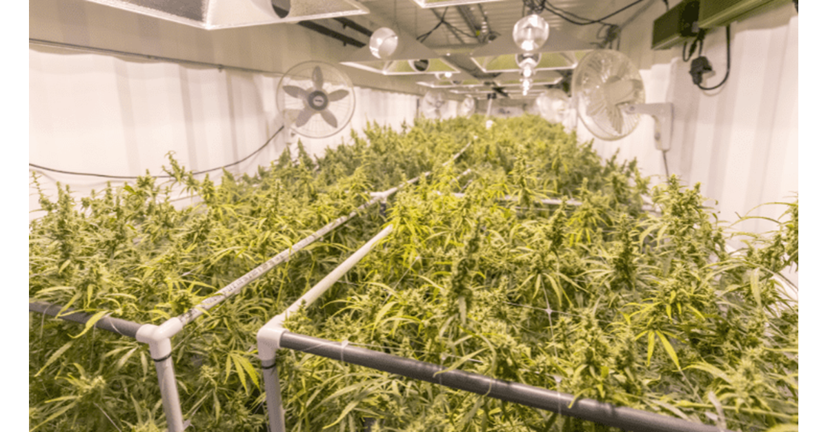 Operation Hammer Strike Strikes Again; Over 60,000 Illicit Cannabis Plants Seized in Weeks Seven and Eight