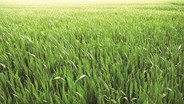 Eight benefits of natural grass