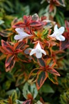 Abelia 'Kaleidoscope' puts a new spin on landscapes