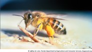 Africanized Bees Spreading Throughout California, New Study Shows