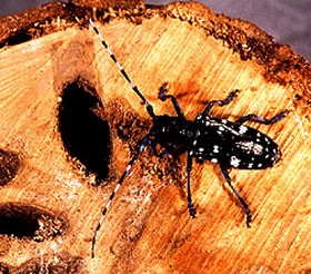 Asian longhorned beetle found in Ohio