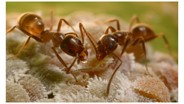 Argentine Ants Harbor Viruses That May Threaten Honey Bees, Researchers Report