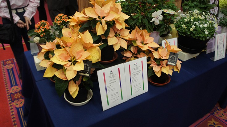 "Dümmen Orange Poinsettia Gold wins ""Best Flower"" award in Japan Flower Selection"