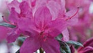 Encore Azalea announces new cold-hardy findings