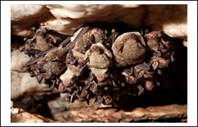 New Study: Bats More Likely Than Rodents to Carry Disease