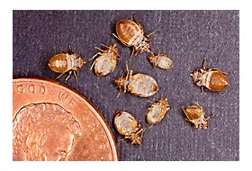 Bed Bugs Can Transmit Parasite That Causes Chagas Disease Pct