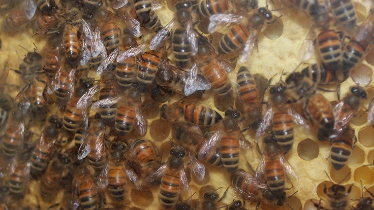 University of Wisconsin-Stout research finds bacterium that may kill bees