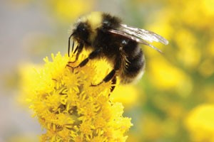 The buzz on the pollinator effect