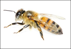 New Study: Bee Venom Kills HIV