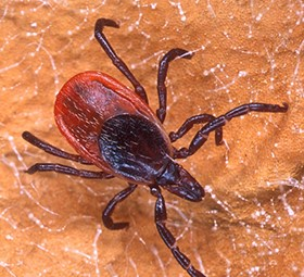 Blacklegged Ticks On the Rise in Ohio