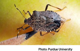 Stink Bugs Spread Throughout Mid-Atlantic, Midwest States
