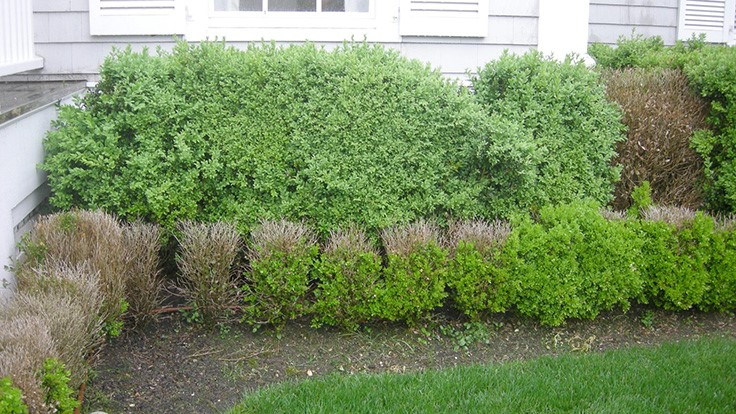 New boxwood blight quarantine to begin in Tennessee