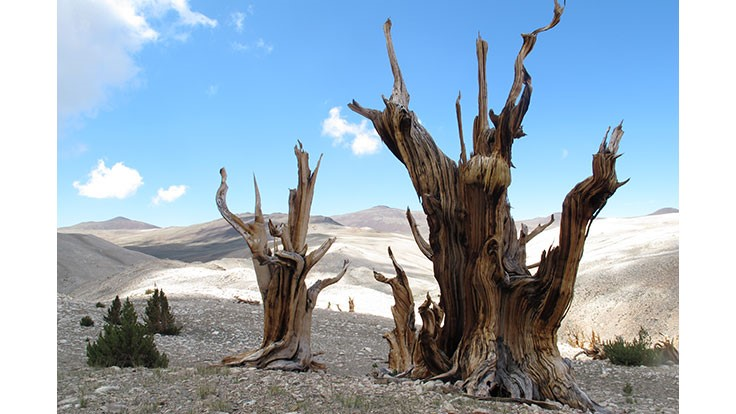 Scientists: Earth's oldest trees in peril