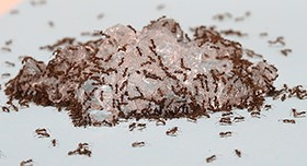 Odorous House Ants in Hawaii Demonstrate Invasive Characteristics