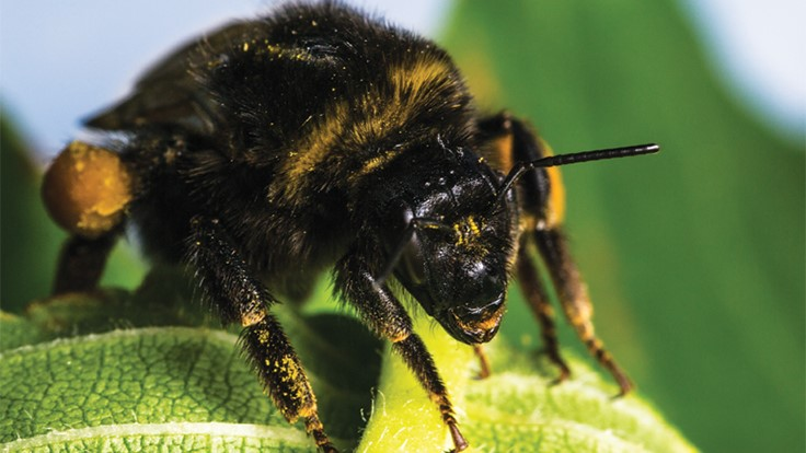 How to effectively use bumblebees in the greenhouse