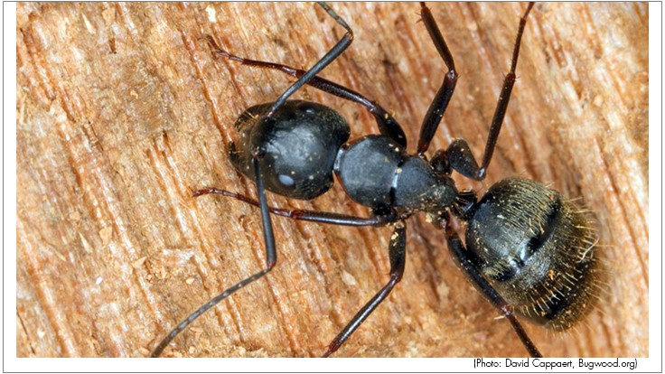 Carpenter Ants: A Silent Menace Not Called a Termite