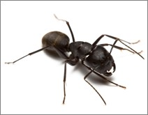 Ant Colonies Share Disease Resistance, New Research Shows