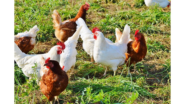 Organic Livestock and Poultry Rule Effective Date Delayed Again