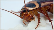 A Cockroach Can Bite With a Force 50 Times Its Body Weight, Researchers Report