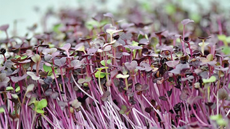 Supplementing with microgreens
