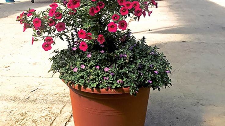 2017 Spring Trials Day 2: A feast, a calibrachoa tree and glamour