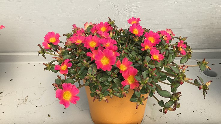 2017 Spring Trials Day 6: Vivid portulaca and cyclamen comparisons