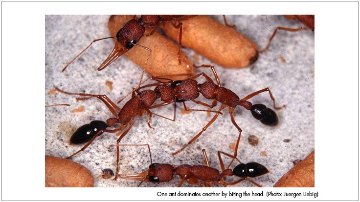 New Research Provides Clues into Ant Communication