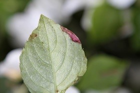 Infected impatiens