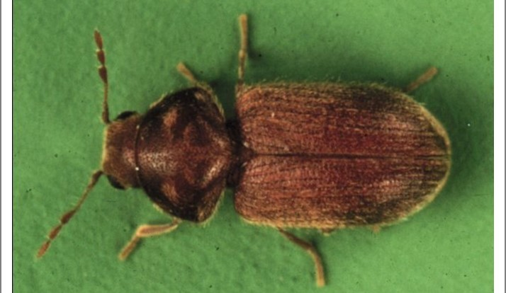 UV Light Proves Useful for Attracting Cigarette and Drugstore Beetles