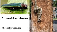 EAB spread continues in Iowa